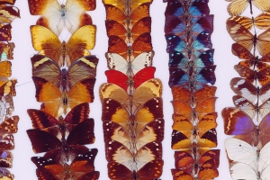 Butterflies on a pin board