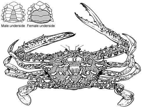 Drawing of a blue swimmer crab